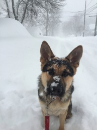 A German Shepherd looks at the camera while surrounded by snow.