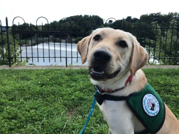 A yellow Labrador/golden retriever cross looks at the camera while wearing his vest. An iron gate and a dam on the Lehigh River appear in the background.