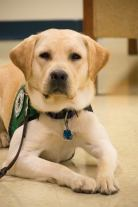 """A yellow Labrador retriever, maintains a """"down"""" command while looking at the camera."""