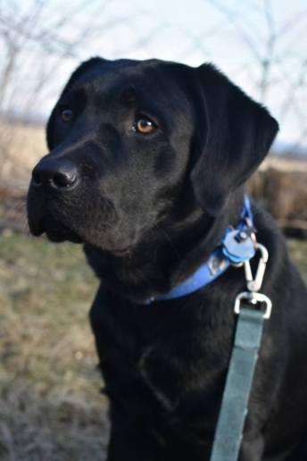 A black Labrador retriever.