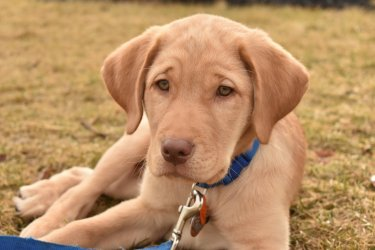 A yellow Labrador lays down on the grass.