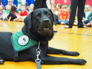 A black Labrador retriever lays patiently on a wooden gym floor. He's wearing his green Seeing Eye puppy raisers vest. School children appear in the background, also sitting on the floor.