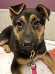 A female German Shepherd Puppy looks at the camera.