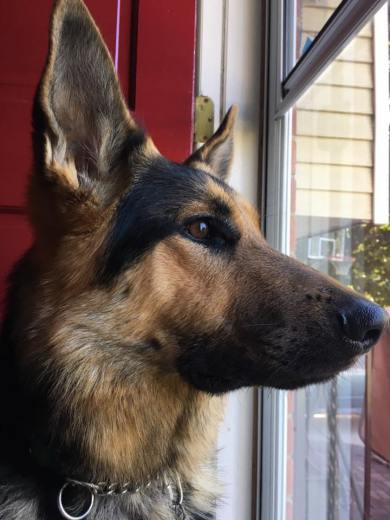 A close up view of the head of a German Shepherd. He's staring attentively out a window.
