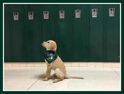 A yellow Labrador sits attentively in front of green school lockers. He's wearing his green Seeing Eye puppy raiser bandana.