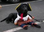 A black Labrador Retriever wearing a pirate costume and tri corner hat.