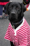 A black Labrador retriever wearing a red-and-white striped shirt.