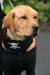 A yellow Labrador Retriever with a skull and crossbones black vest.