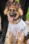 A long-haired German Shepherd in a white dress.