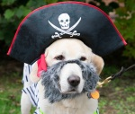 A golden retriever wearing a black pirate hat and grey beard.