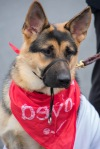 A German Shepherd wearing a red bandana.