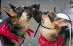 Two German Shepherd puppies in red bandanas nuzzle each other at the parade.