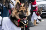 A long haired German Shepherd wearing a pirate collar.
